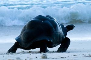 Aldabra Giant Tortoise (Geochelone Gigantea) Walking Along The Sea Shore, Aldabra Atoll, Seychelles by Cheryl-Samantha Owen