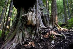 Western Red Cedar Tree (Thuja Plicata) Deemed Canada'S 'Gnarliest Tree' In The Old Growth Forest by Cheryl-Samantha Owen