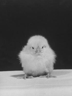 Chick Posing for the Camera