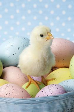 Chicken Chick Sitting on Coloured Eggs