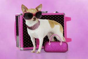 Chihuahua Wearing Sunglasses with Girly Props