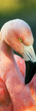 Chilean Flamingo (Phoenicopterus Chilensis)