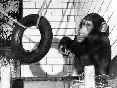 https://imgc.allpostersimages.com/img/posters/chimp-with-tyre_u-L-Q107DO30.jpg?artPerspective=n