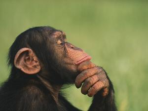 Chimpanzee Resting Chin in Hand