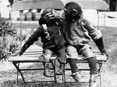 Chimpanzees Embracing
