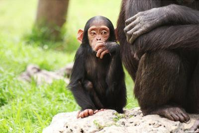 Chimpanzees (Mother & Baby Sitting) Art Poster Print