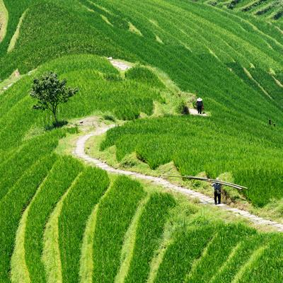 https://imgc.allpostersimages.com/img/posters/china-10mkm2-collection-rice-terraces-longsheng-ping-an-guangxi_u-L-PZ7NKW0.jpg?p=0