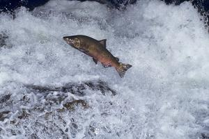 Chinook Salmon Leaping Falls During Migration
