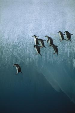 Chinstrap Penguins Jumping Off Blue Ice
