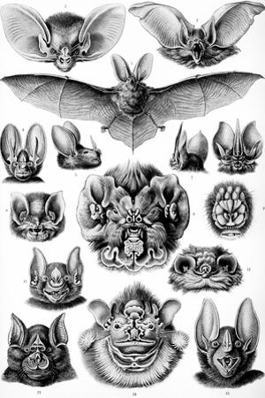 Chiroptera Nature by Ernst Haeckel