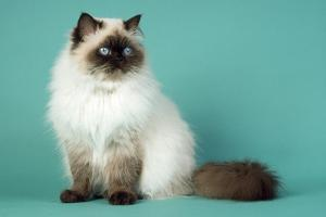 Chocolate Point Persian Cat