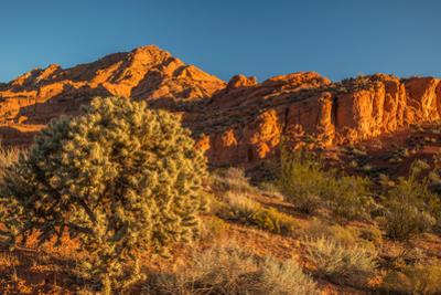 Cholla cactus and red rocks at sunrise, St. George, Utah, USA