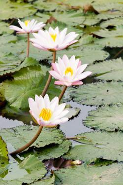 Water Lily (Lotus) and Leaf in Pond by chomnancoffee