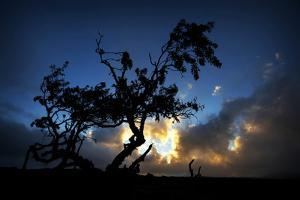 A Lonely Tree Rises from the Harsh Lava of Central Hawaii, on the Road to Mauna Kea Observatory by Chris Bickford