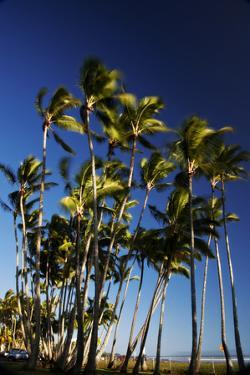 A Stand of Palm Trees Line the Coast Along the Hilo-Hamakua Highway by Chris Bickford