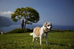 Portrait of a Dog with the Waipi'O Bay in the Distance by Chris Bickford