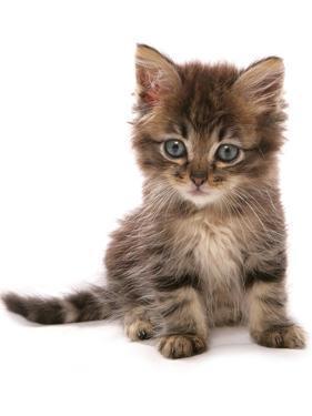 Domestic Cat, Asian, kitten, sitting by Chris Brignell