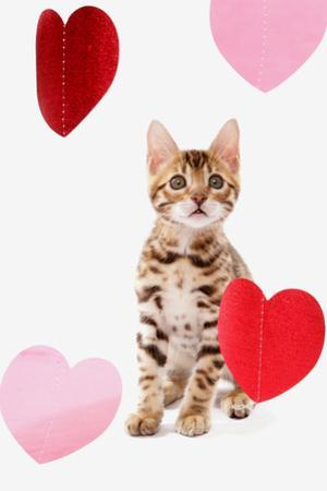 Domestic Cat, Bengal, kitten, sitting with heart foils by Chris Brignell