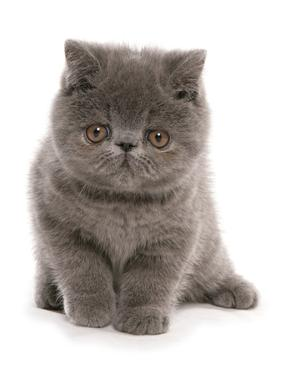 Domestic Cat, Exotic Shorthair, blue kitten, sitting by Chris Brignell