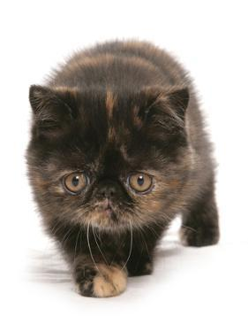 Domestic Cat, Exotic Shorthair, brown tortie kitten, walking by Chris Brignell