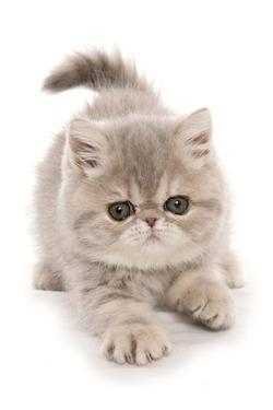 Domestic Cat, Exotic Shorthair, kitten, padding by Chris Brignell