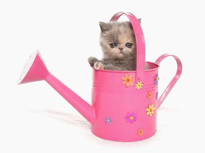 Domestic Cat, Exotic Shorthair, kitten, sitting in pink watering can