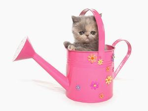 Domestic Cat, Exotic Shorthair, kitten, sitting in pink watering can by Chris Brignell