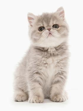 Domestic Cat, Exotic Shorthair, kitten, sitting by Chris Brignell