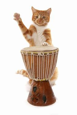 Domestic Cat, ginger and white tabby, adult, playing drum by Chris Brignell