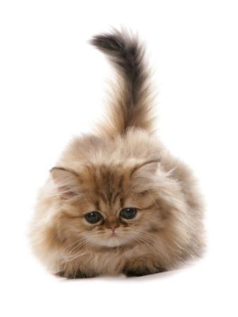 Domestic Cat, Golden Persian, kitten, laying