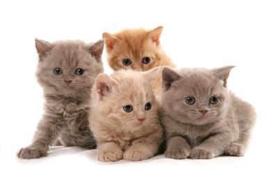 Domestic Cat, Selkirk Rex, four kittens, sitting