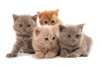 Domestic Cat, Selkirk Rex, four kittens, sitting by Chris Brignell
