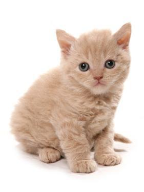 Domestic Cat, Selkirk Rex, kitten, sitting by Chris Brignell