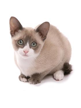 Domestic Cat, Snowshoe, kitten, sitting by Chris Brignell