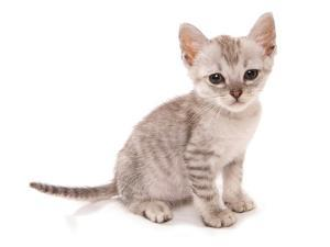 Domestic Cat, Somali, kitten, sitting by Chris Brignell