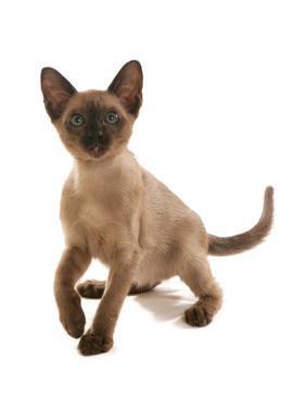 Domestic Cat, Tonkinese, brown mink, female kitten by Chris Brignell