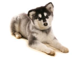 Domestic Dog, Alaskan Malamute, puppy, laying by Chris Brignell
