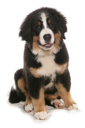 Domestic Dog, Bernese Mountain Dog, puppy, sitting