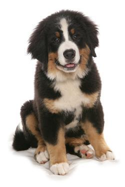 Domestic Dog, Bernese Mountain Dog, puppy, sitting by Chris Brignell