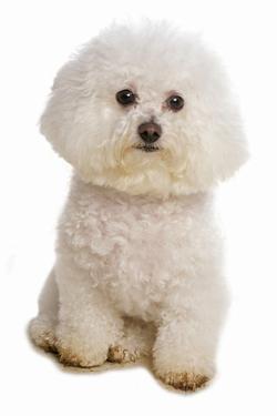 Domestic Dog, Bichon Frise, adult, sitting by Chris Brignell