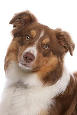 Domestic Dog, Border Collie, liver tricolour adult, close-up of head by Chris Brignell
