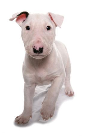 Domestic Dog, Bull Terrier, puppy, eight-weeks old