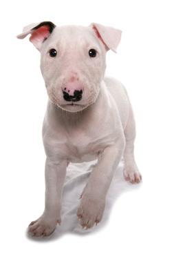 Domestic Dog, Bull Terrier, puppy, eight-weeks old by Chris Brignell