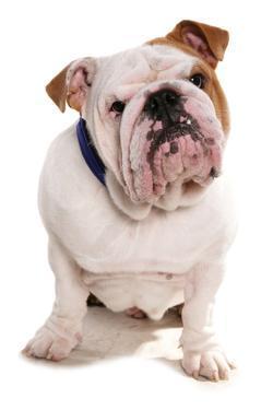Domestic Dog, Bulldog, adult, sitting by Chris Brignell