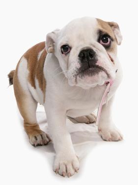 Domestic Dog, Bulldog, puppy, standing by Chris Brignell