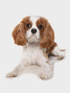 Domestic Dog, Cavalier King Charles Spaniel, puppy, laying by Chris Brignell