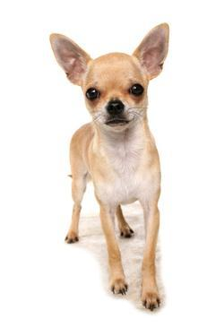 Domestic Dog, Chihuahua, adult, standing by Chris Brignell