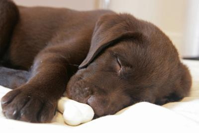 Domestic Dog, Chocolate Labrador Retriever, male puppy, sleeping by Chris Brignell