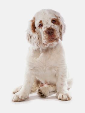 Domestic Dog, Clumber Spaniel, puppy, sitting by Chris Brignell