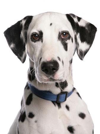 Domestic Dog, Dalmatian, adult, close-up of head